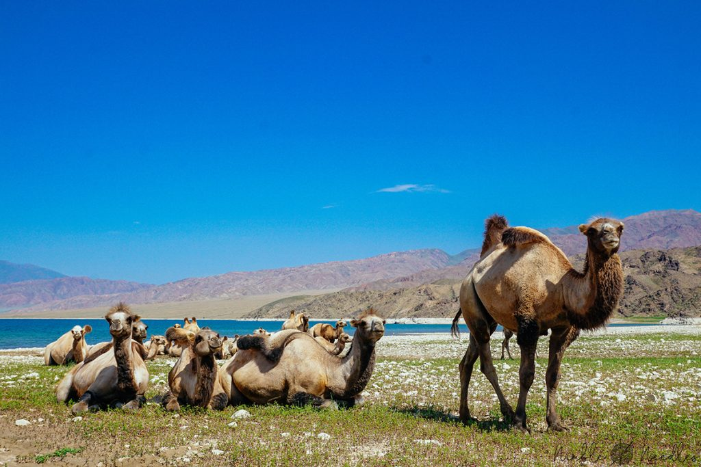 a flock of bactrian camels in the wild on a lake in Inner Asia