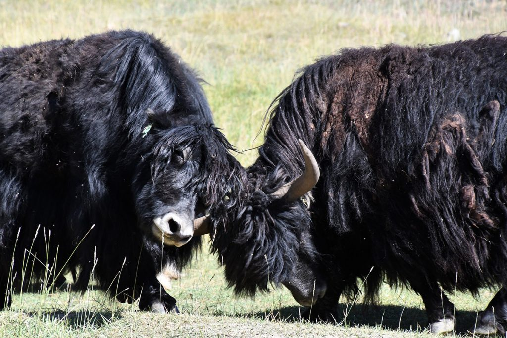 two adult yaks fighting on a green meadow