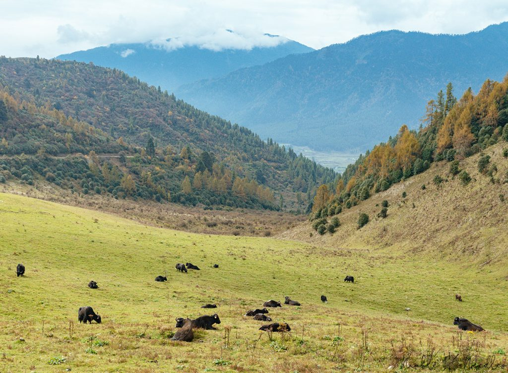 yaks on their winter pasture in bhutan with forested mountains in the background