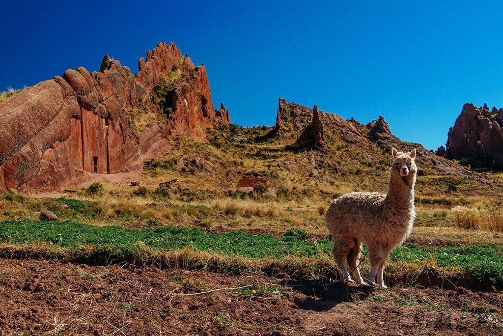 a huacaya alpaca in peru near lake titcaca