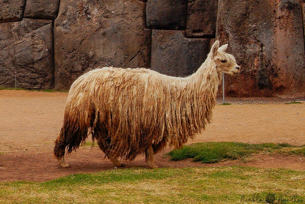 a suri alpaca in peru near cusco with very long coat