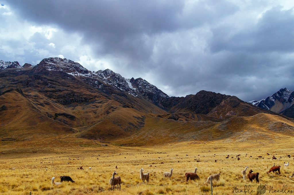 alpaca grazing on the altiplano in peru on the train from cusco to puno