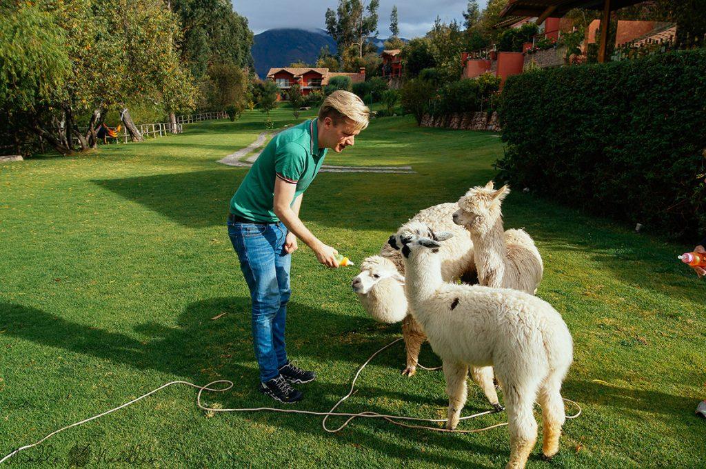 me feeding baby alpaca in peru near ollantaytambo